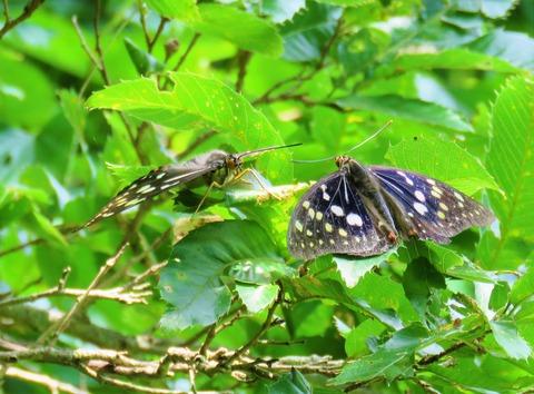 オオムラサキ雌雄