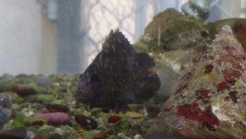 ヒゲソリダイ幼魚