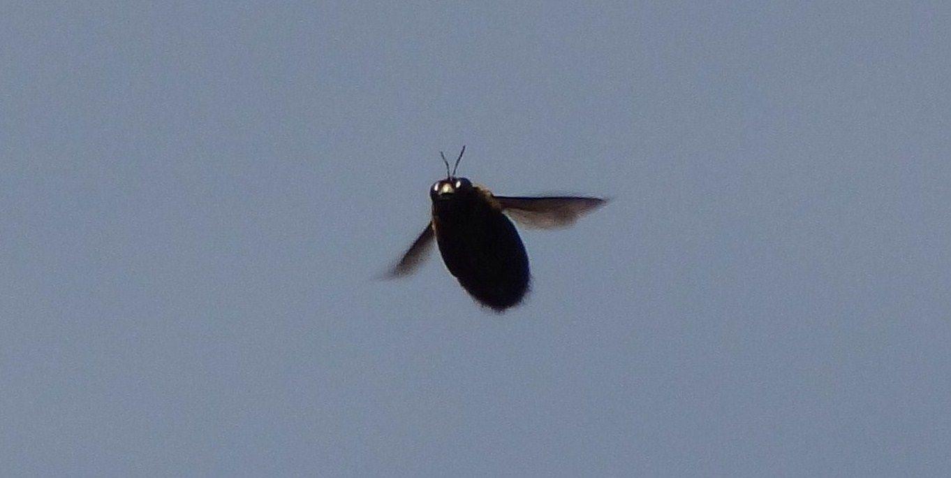 クマバチの画像 p1_19