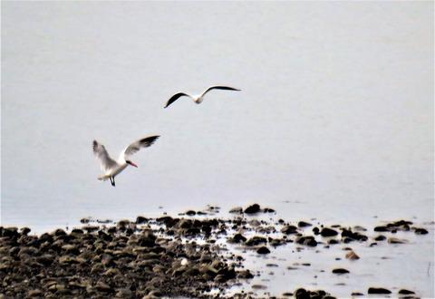 オニアジサシとユリカモメ飛翔