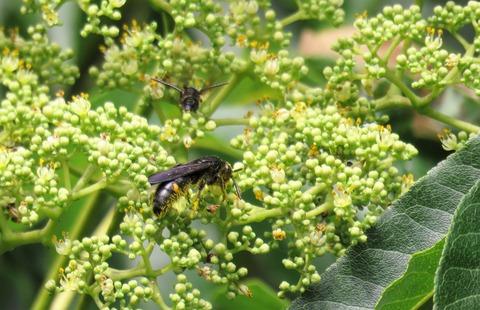 キオビツチバチ (2)