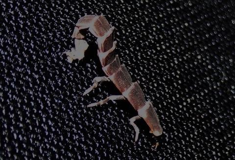 オバボタル 幼虫 (3)