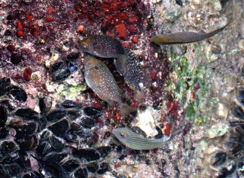 ニジハギ 幼魚