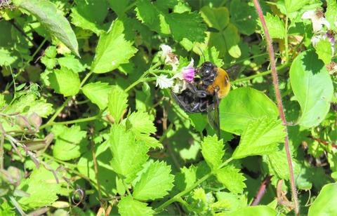 ナワシロイチゴとクマバチ