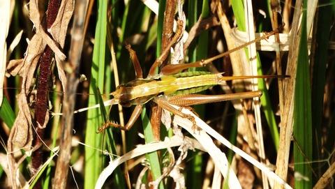 キリギリスの終齢幼虫