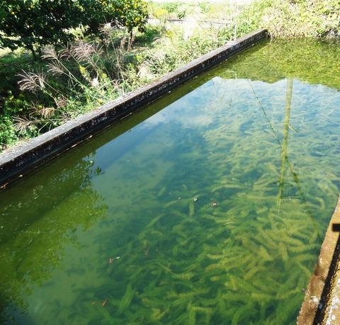 コノシメトンボ産卵池