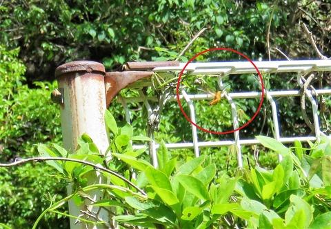 ニセリンゴカミキリ (4)