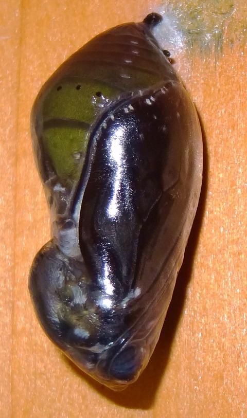 アサギマダラ羽化 (3)