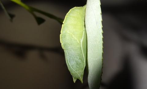 コムラサキ蛹 (1)
