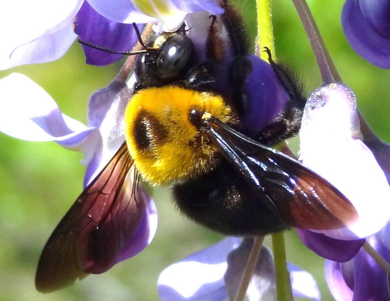 クマバチの画像 p1_27