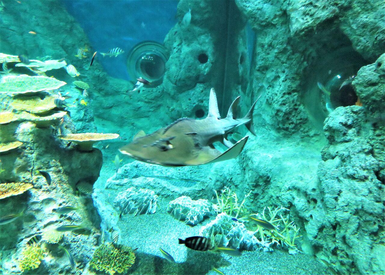 サカタザメ シノノメ