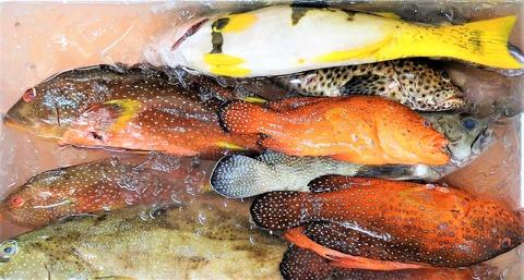 亜熱帯海域のハタ科の魚種たち