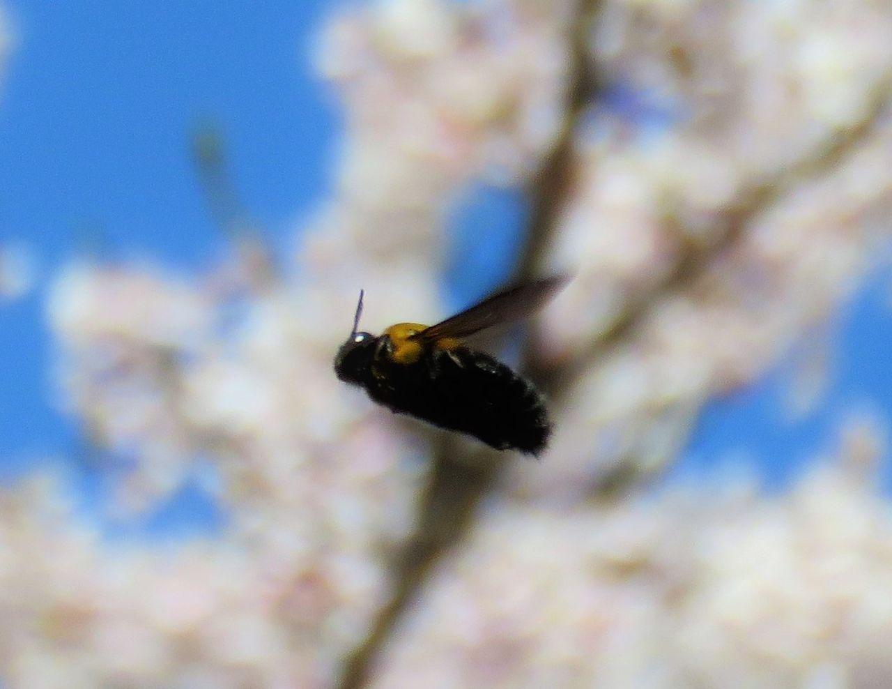 クマバチ ヒラズゲンセイ