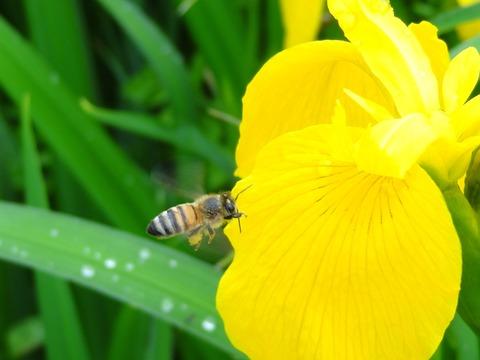 セイヨウミツバチ (2)