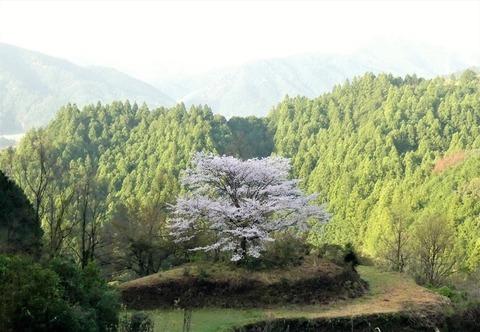 奥有瀬の一本桜