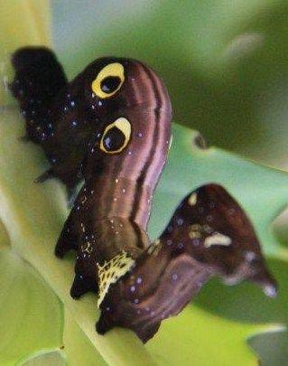 幼虫 (2)
