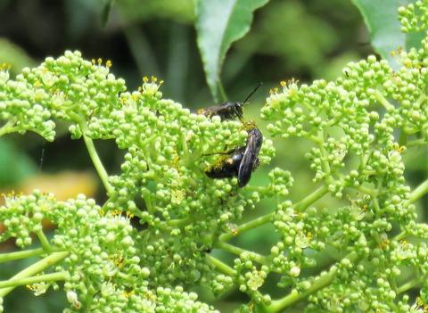 キオビツチバチ (4)
