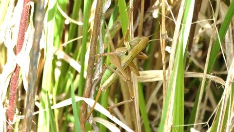 キリギリスの終齢幼虫 (2)