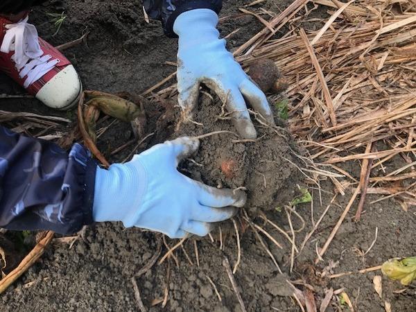 2020.1.16 里芋掘り (21)