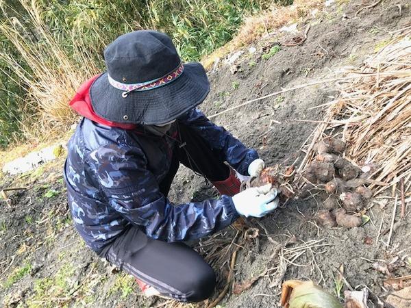 2020.1.16 里芋掘り (22)
