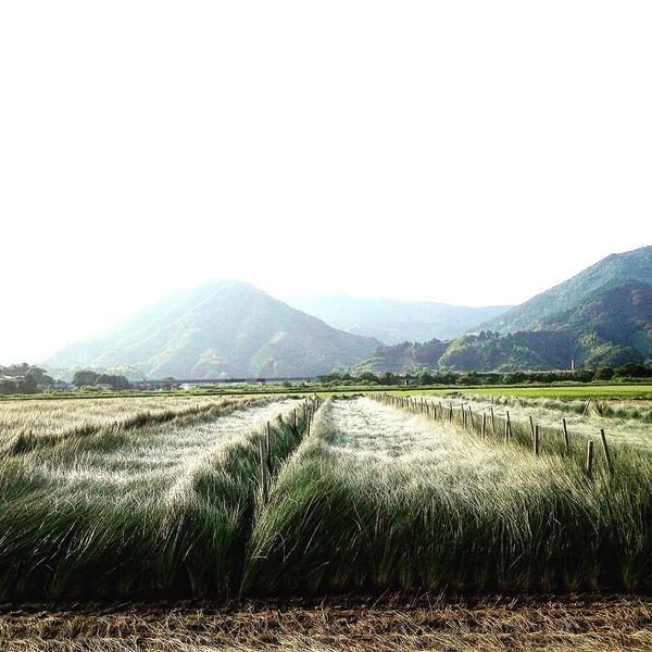 イ草の圃場①