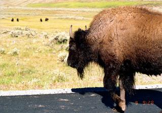 amrica bison 8