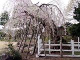 豊島家の桜