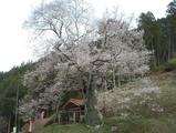 岩井畝の桜