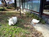 ヤギとアヒル