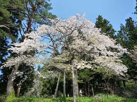 七五三掛桜2