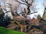 光巌寺桜1