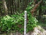 カスミ桜株