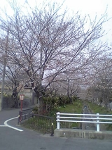 近くの桜0