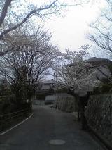 近くの桜1