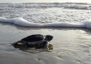green-sea-turtle-1185954_640