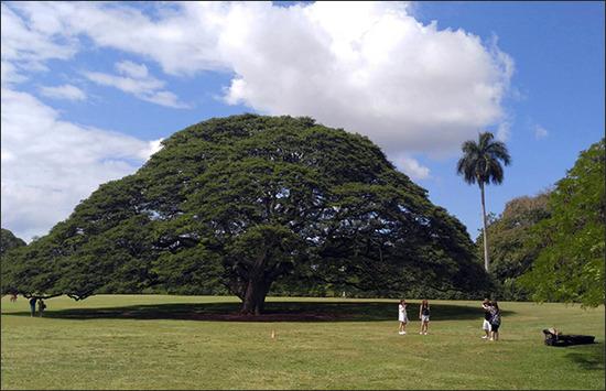 【完全にキチガイ】ハワイにある日立の樹が韓国人観光客嫌がらせで切り倒されそうwwwww 日立の樹を見た韓国人の反応wwwwww
