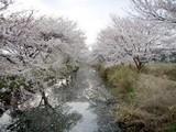 今井の桜7