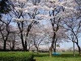 ふれあい公園の桜2
