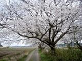 今井の桜1