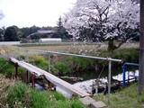 今井の桜6
