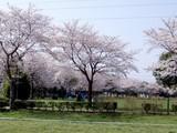 ふれあい公園の桜1