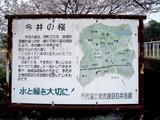 今井の桜4
