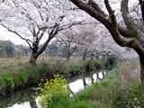 今井の桜3