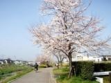 大堀川の桜2