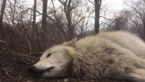 World-laziest-wolf-howls01
