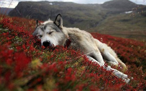 wallpaper-wolves-illustration-photo-07