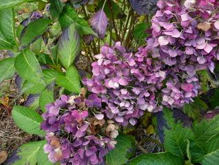紫陽花101102