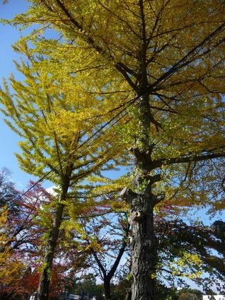 101102銀杏の木