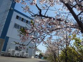 観桜会展示写真(当社桜) (13)