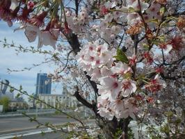 観桜会展示写真(当社桜) (3)
